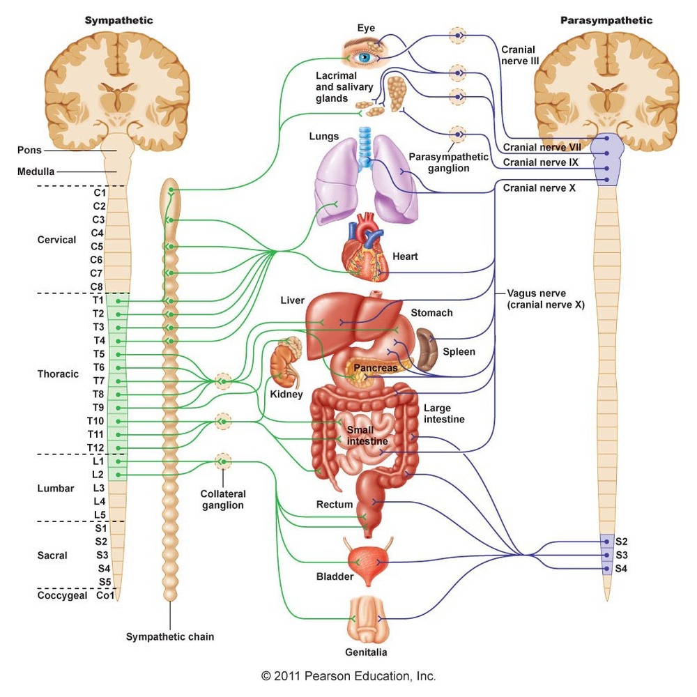the structure of the nervous system Structure and functions of nervous tissue note : this is part of the section about the structure and function of different tissue types , which is related to the section about histology and cells incl structure of animal cells , cell division , mitosis , meiosis.