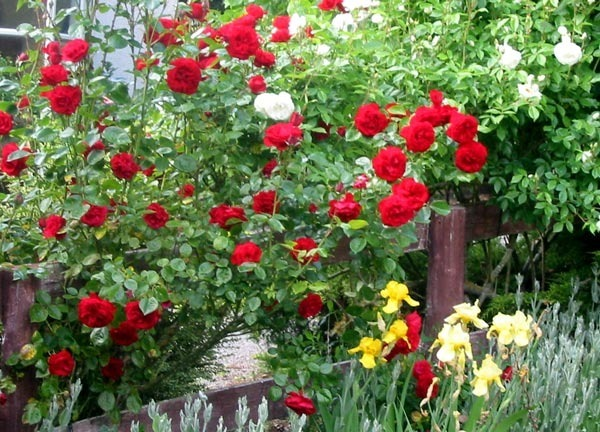 Wild rose-bush, covered, in this.. – The Scarlet Letter ...
