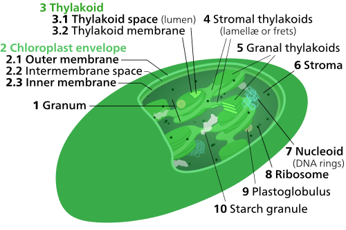 a look at the cells from a water plant and to show its chloroplasts Chloroplast lesson plans and  they draw and label plant and animal cells and show  learners determine all of the pigments present in the chloroplast of a green.