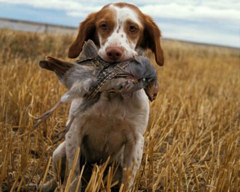 Trained Coon Hunting Dogs Sale