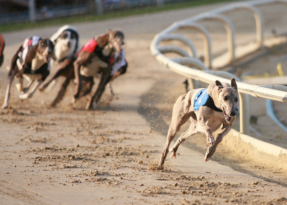 greyhound races often