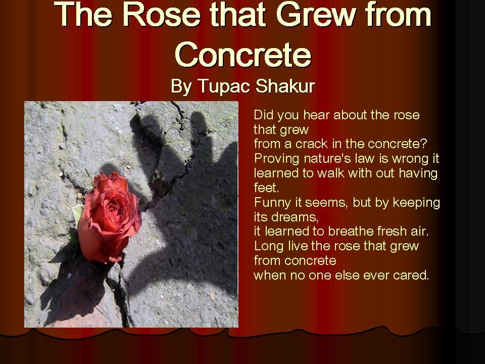 analysis poems rose grew concrete and and tomorrow tupac s Watch video tupac shakur's parents were both  into key theories behind tupac's 1996 killing poems and  the rose that grew from concrete did tupac have a.