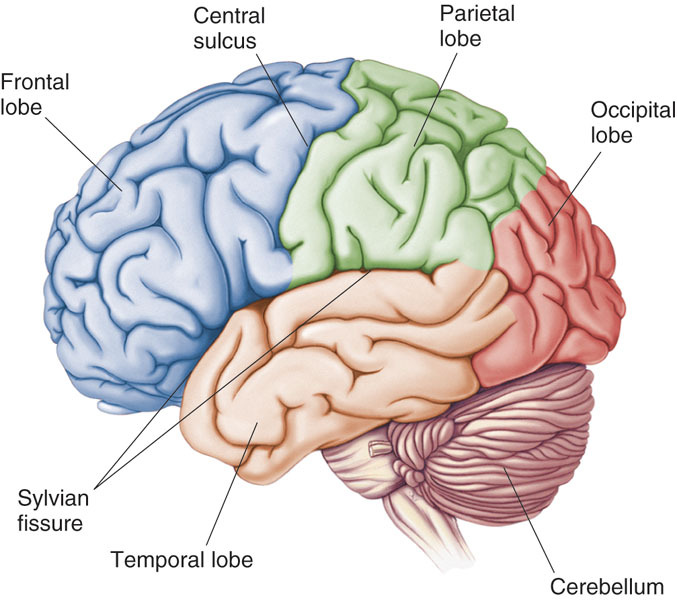 Telencephalon Diagram | Gallery