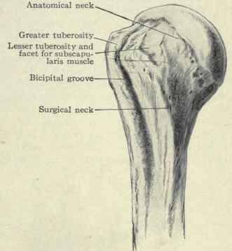 D. Intertubercular (bicipital).. – Glenohumeral Joint ...