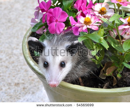 how to get rid of a possum in my garage