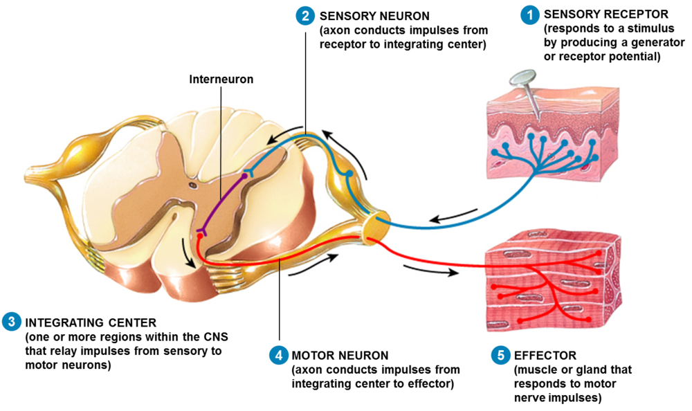 Human Physiology – Structure and Function of the Nervous System I ...