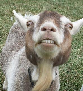 male fuck goat pics