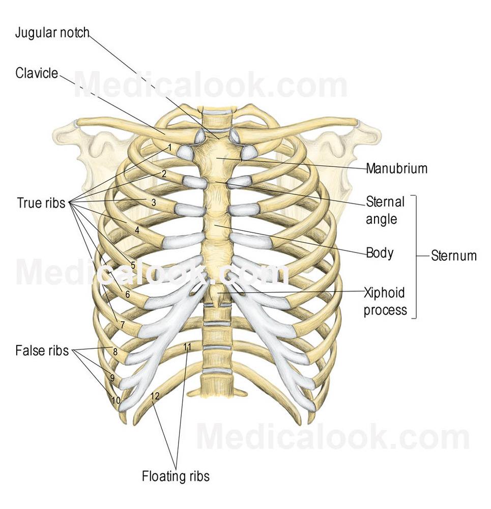 maya angelou – some kind of love, some say | genius pig rib diagram rib cartilage diagram