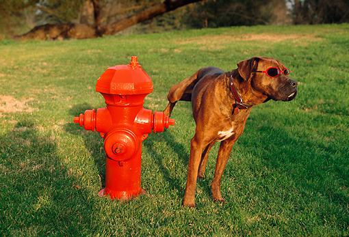 Pictures Of Dogs Peeing On Fire Hydrants