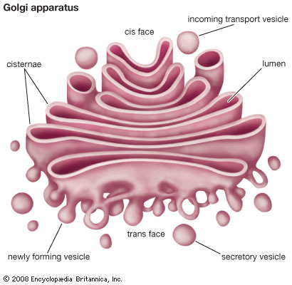 Phish - Golgi Apparatus (Studio Version) - YouTube