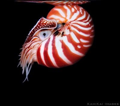 the chambered nautilus in my life We solicit information to inform our final listing determination, the  the general  life history characteristics of the chambered nautilus are that.