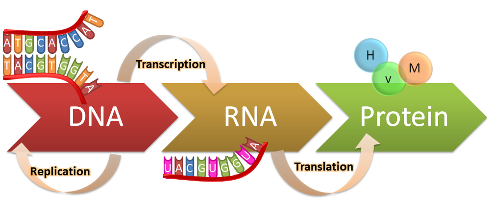 rrna in protein synthesis