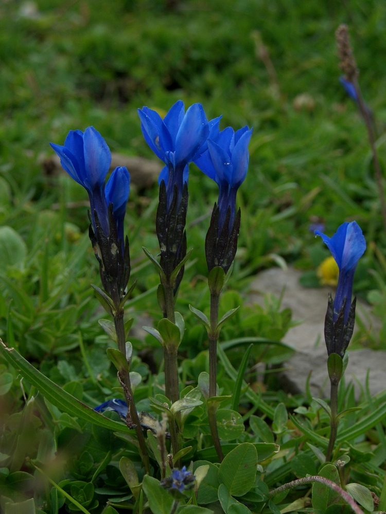 bavarian gentians Death wasn't a stranger to dh lawrence so perhaps its fitting that the poem i've chosen to explicate, bavarian gentians (1932), was published posthumously after the.