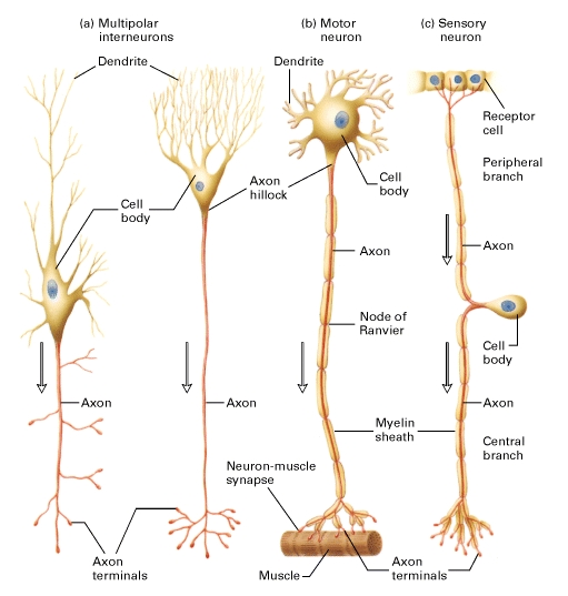 human physiology structure and function of the nervous system i genius. Black Bedroom Furniture Sets. Home Design Ideas