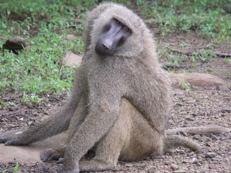 Baboon animal photo