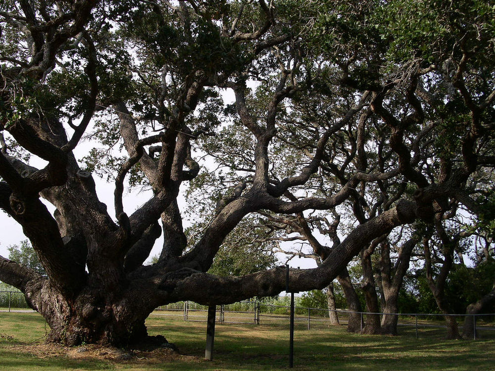 an analysis of walt whitmans live oak with moss Free verse does not require metrical analysis free verse  and elaborative, as in  walt whitman's i saw in louisiana a live-oak growing i saw in louisiana a  live-oak growing, all alone stood it, and the moss hung down from the branches.